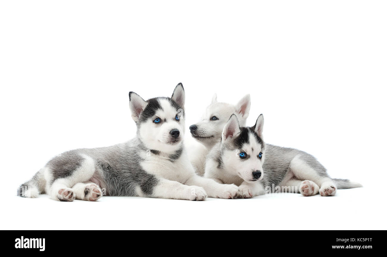 Siberian husky puppy at studio Stock Photo