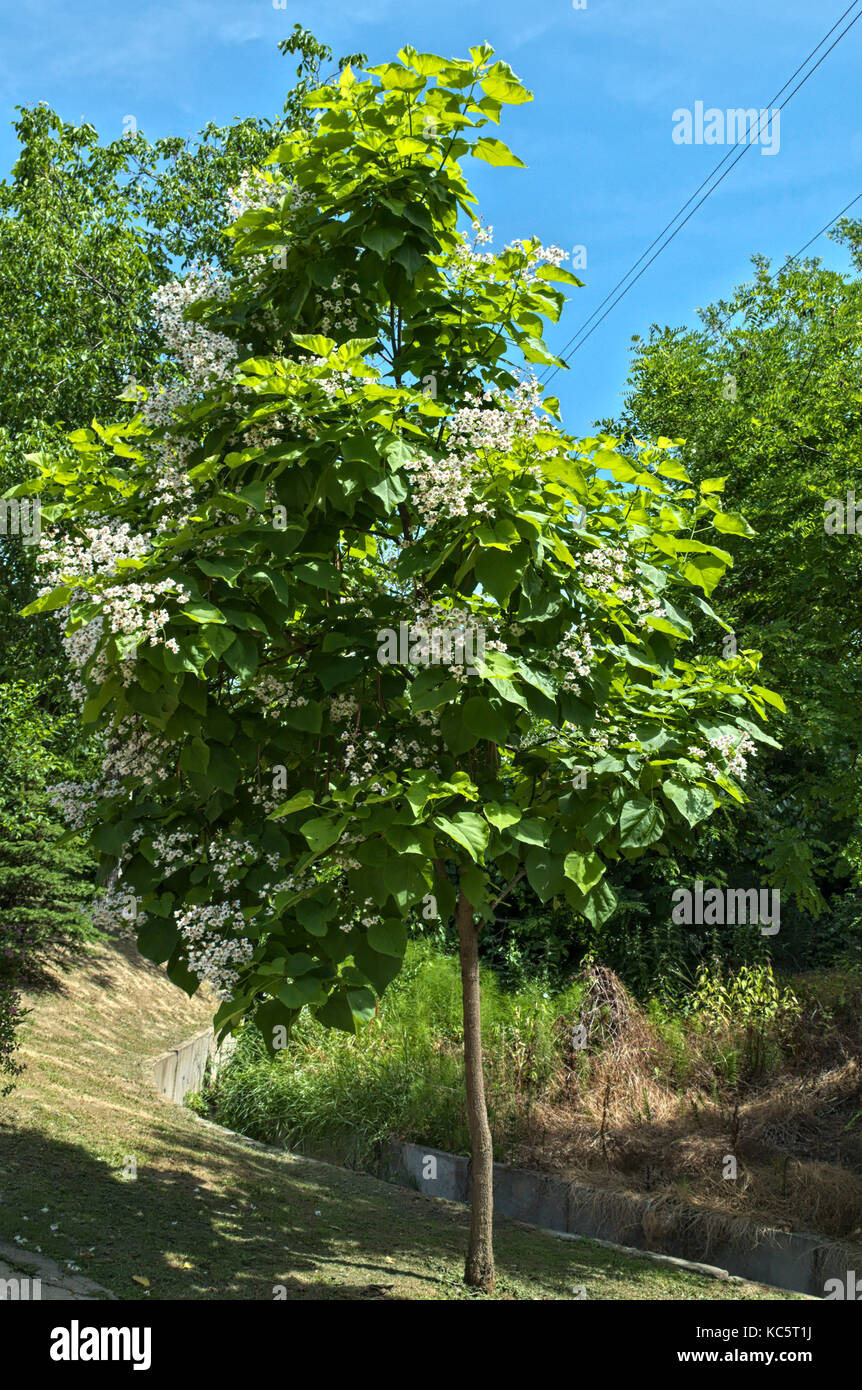 Decorative Tree Blooming With Bigh Clusters Of White Flowers Stock