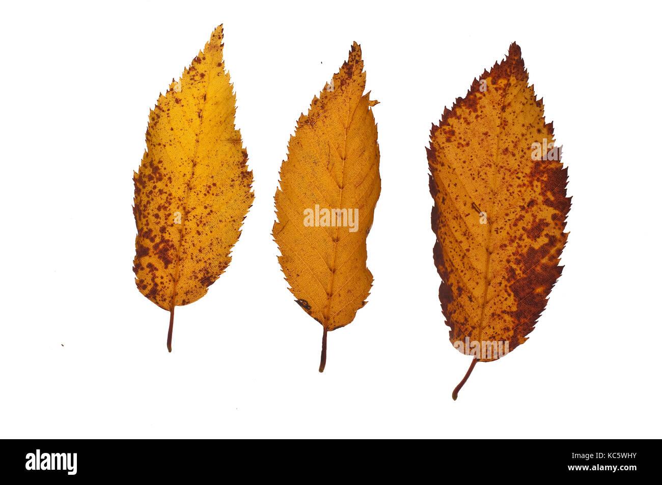 three fallen leaves Stock Photo
