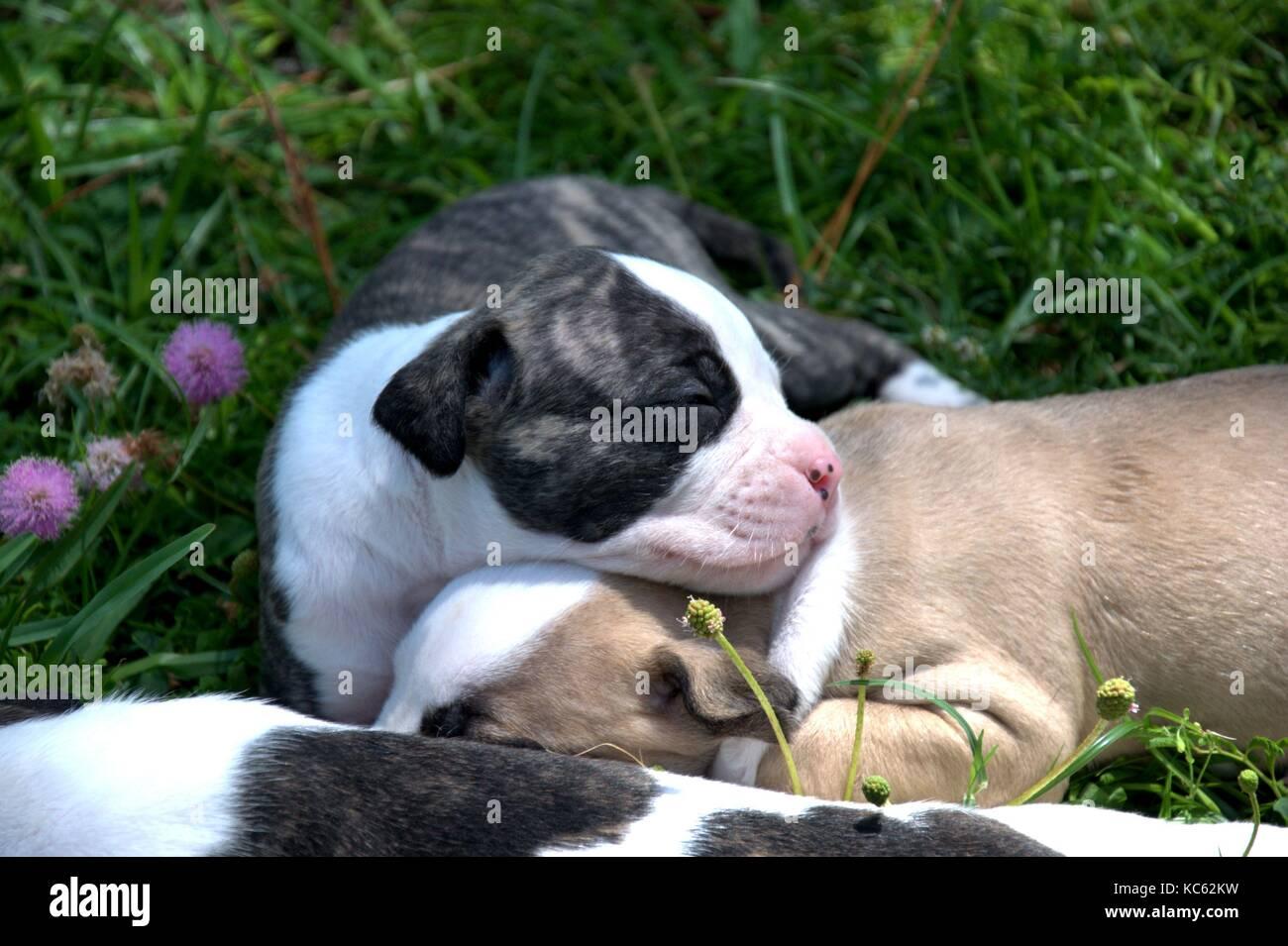 Sleeping American Bulldog puppies. - Stock Image