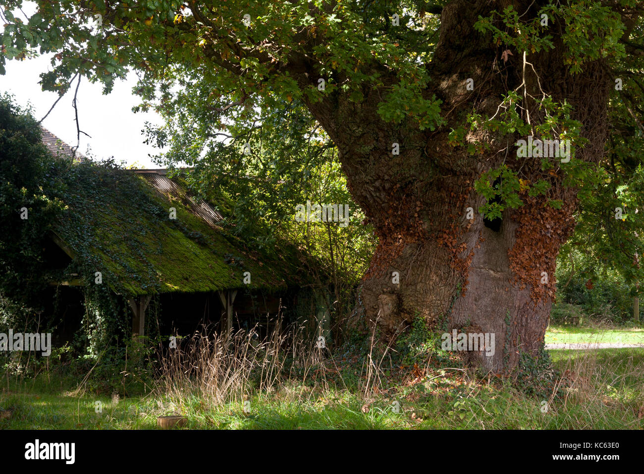 an ancient oak tree (Quercus robur) and barn located in Linchmere, nr Liphook, Surrey, England - Stock Image