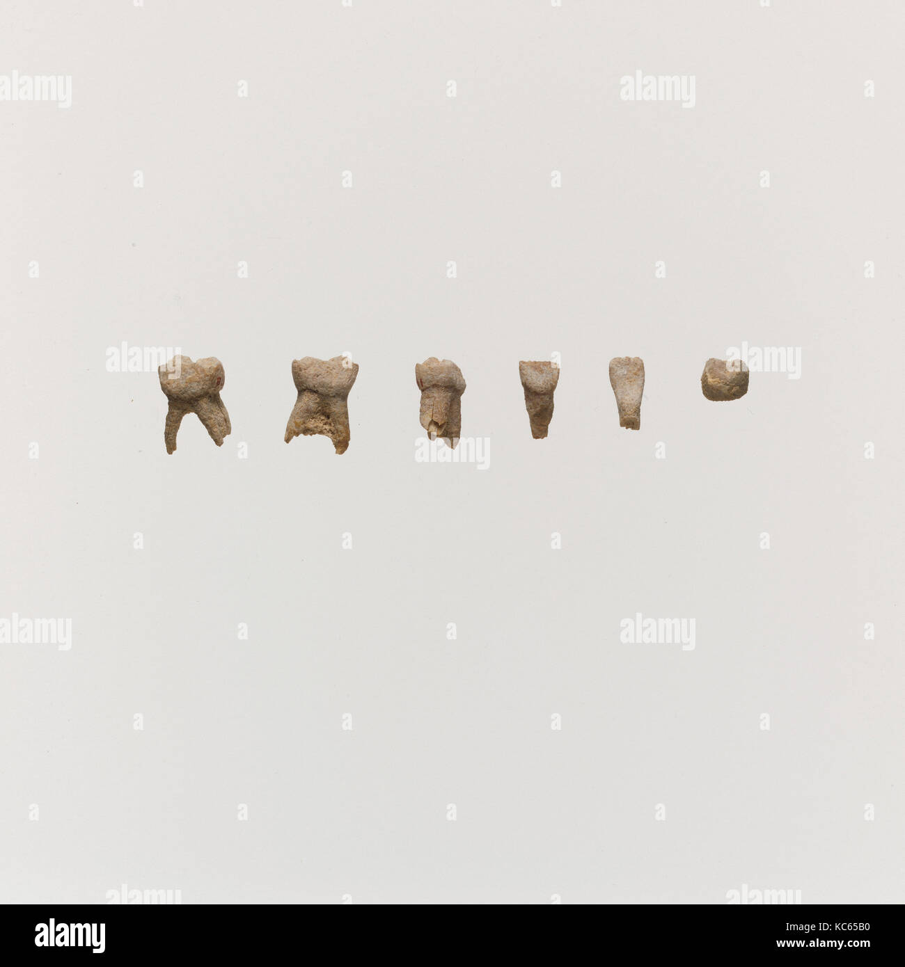 Tooth, 5, Bone, Length (average length): 3/8 in. (1 cm - Stock Image