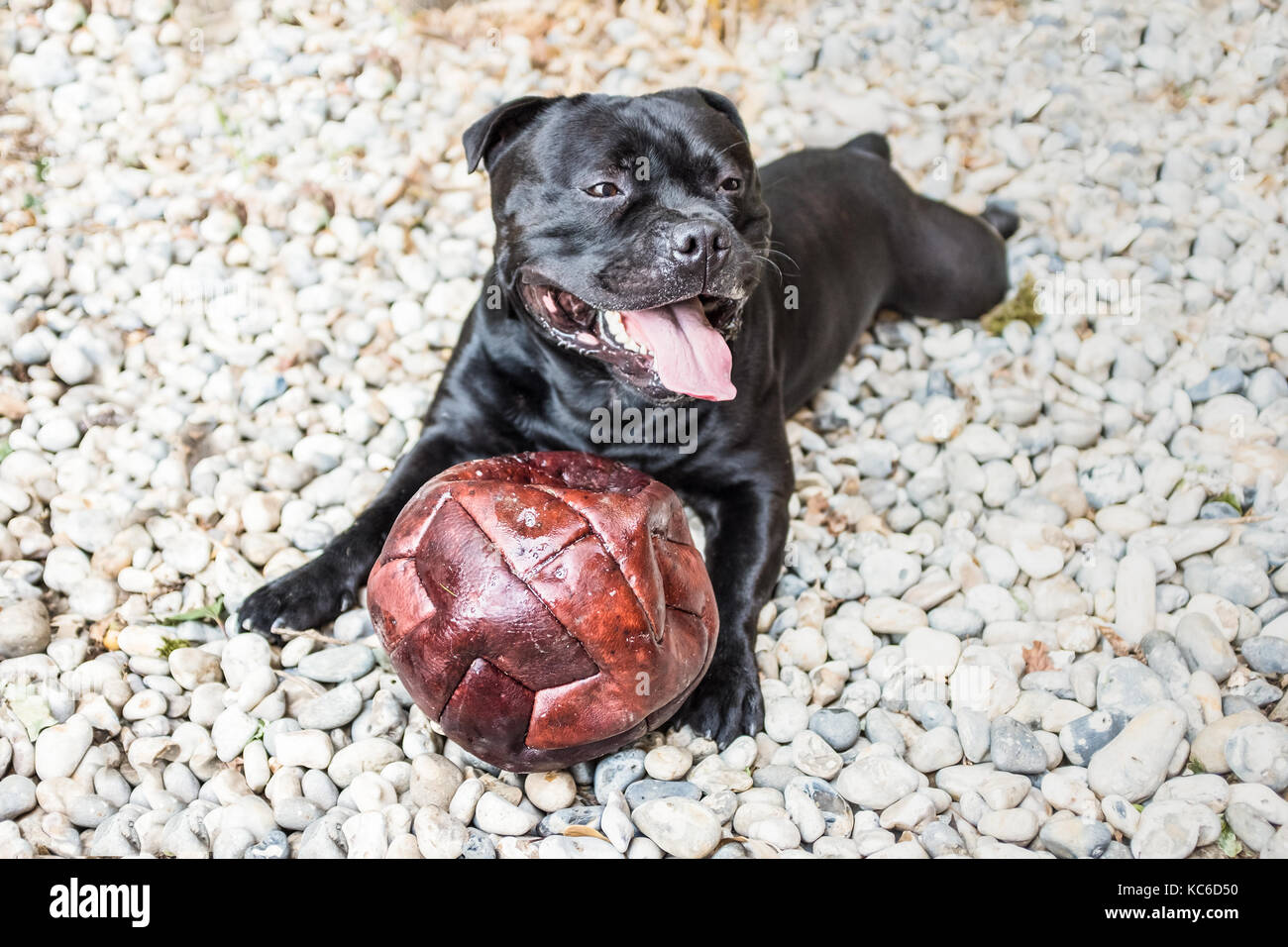 black staffordshire bull terrier dog lying on white stones very happy and exhausted after playing with a bursting - Stock Image