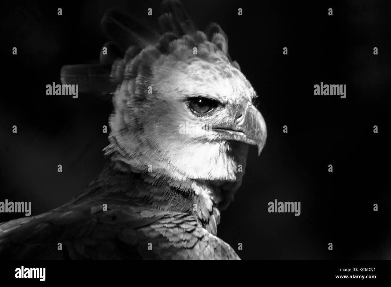 Black and white image of the harpy eagle the national bird of Panama - Stock Image