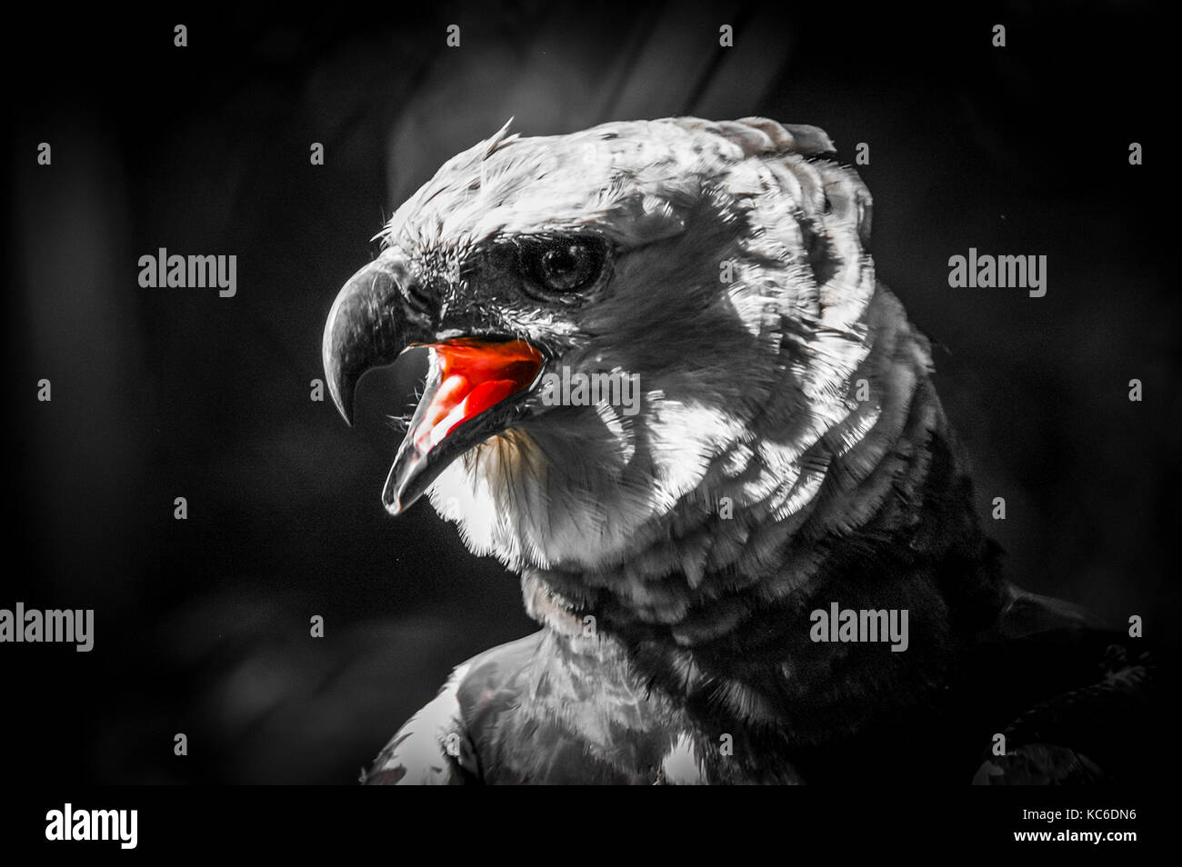 Black and white stylish image of the harpy eagle with red colored tongue Stock Photo