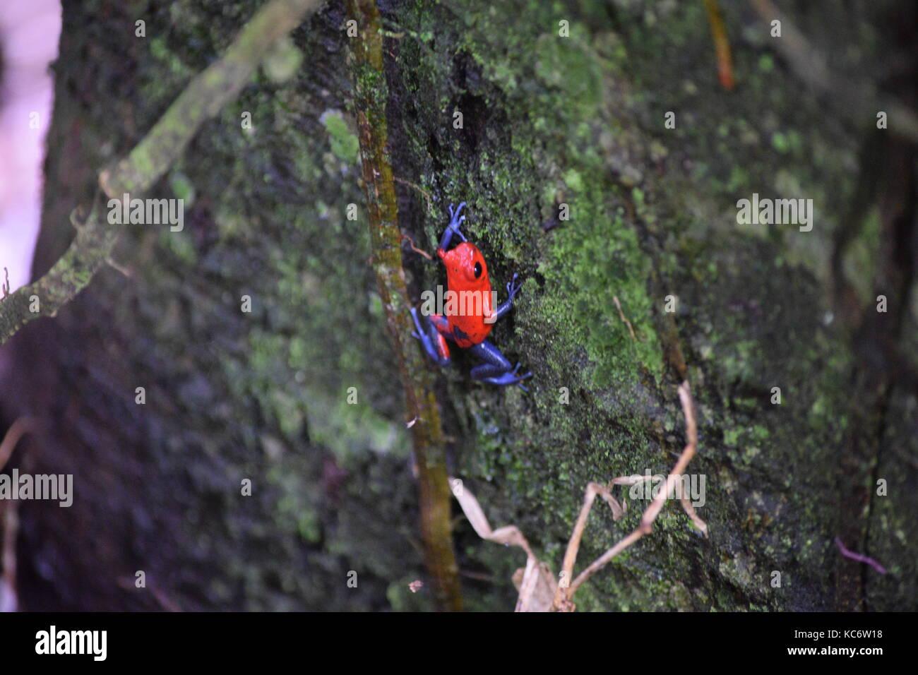 Strawberry Poison Dart Frog, Oophaga pumilio, Tortuguero NP, Costa Rica - Stock Image
