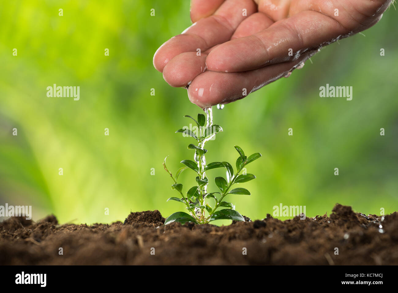 Close-up Of A Person Hand Watering To Small Plant - Stock Image