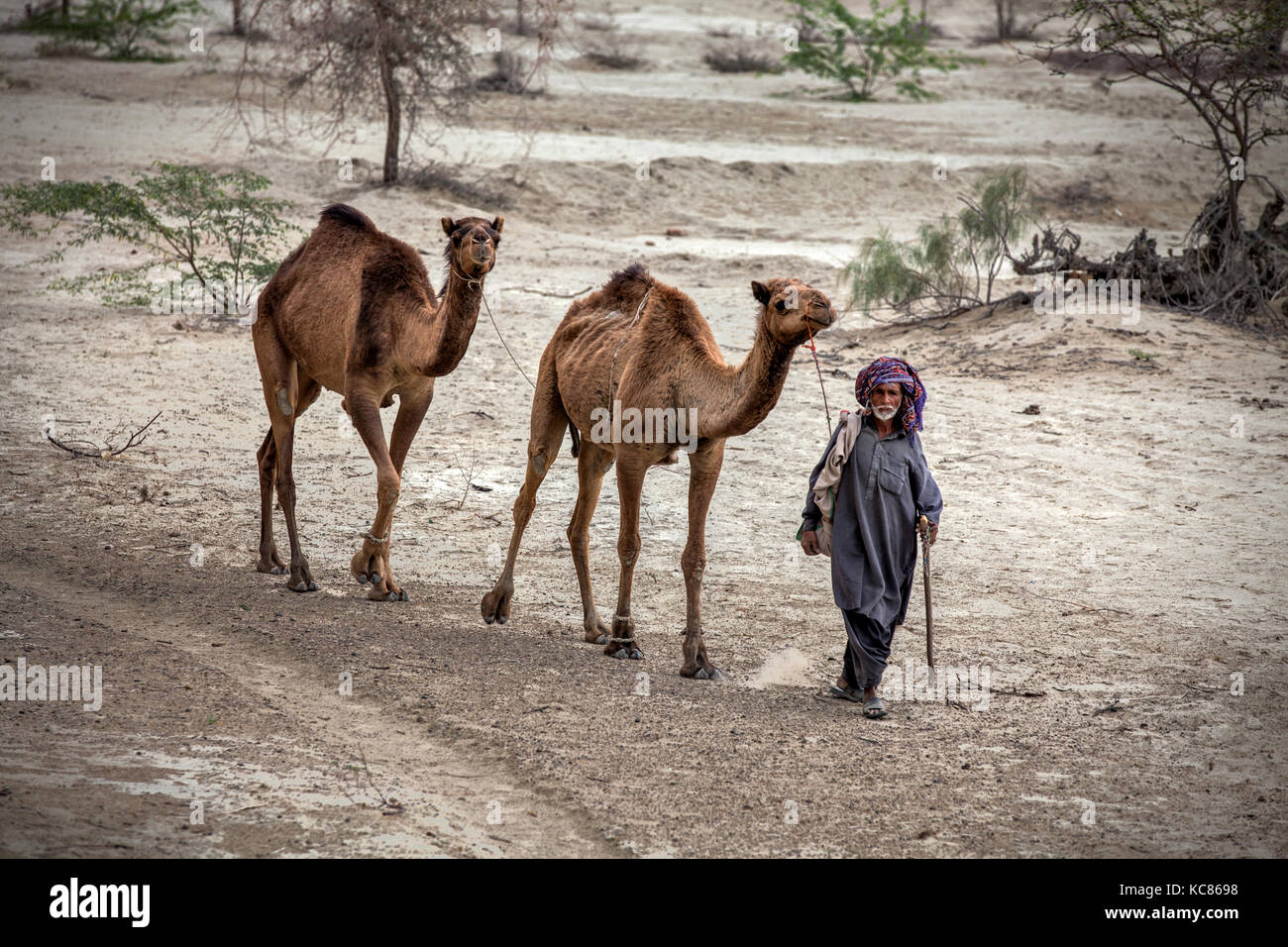 Man walks his camels through barren land of Makran, Baluchistan Pakistan. Nomads covers miles and miles in search - Stock Image
