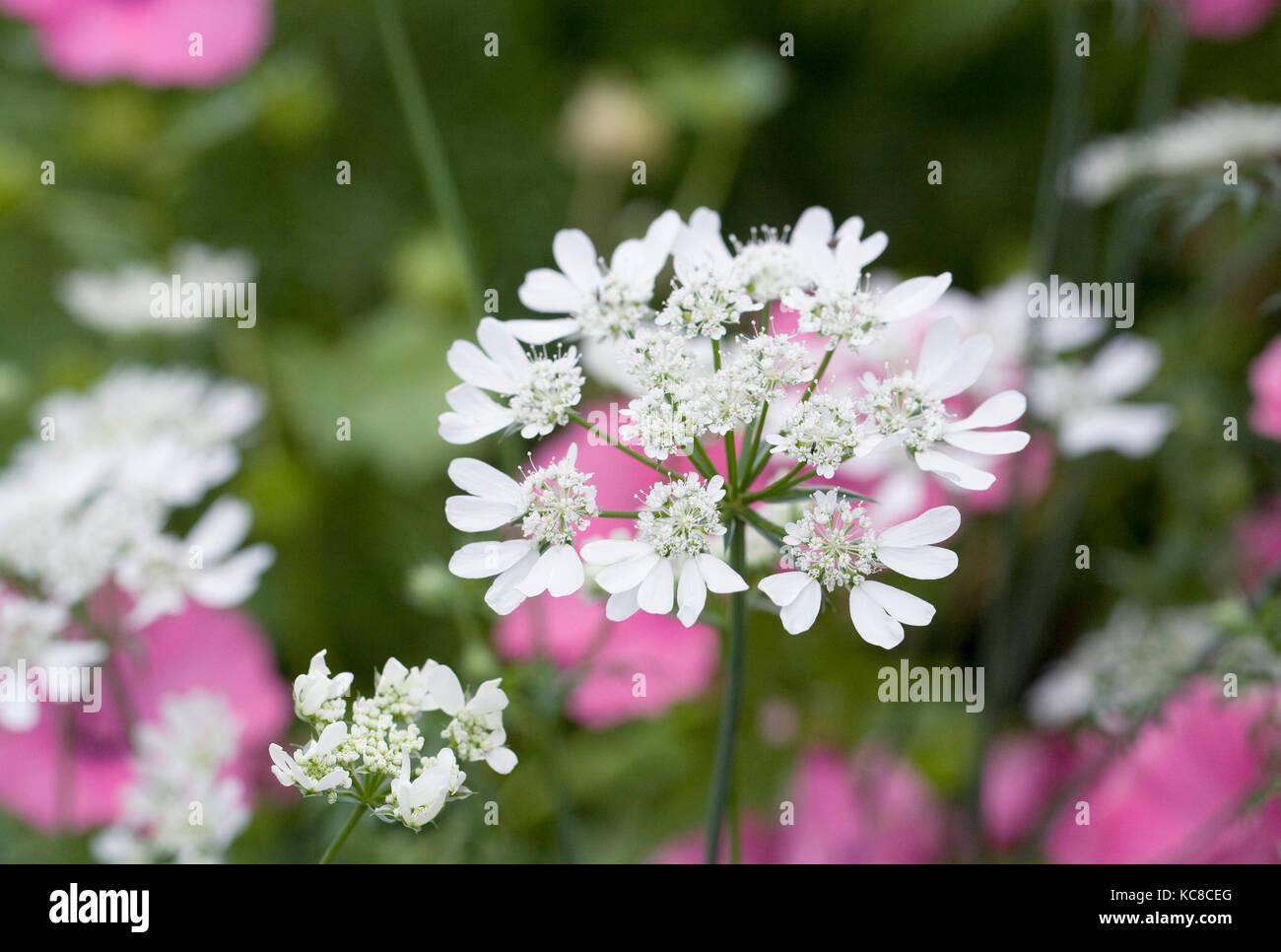 Orlaya grandiflora flowers. Stock Photo