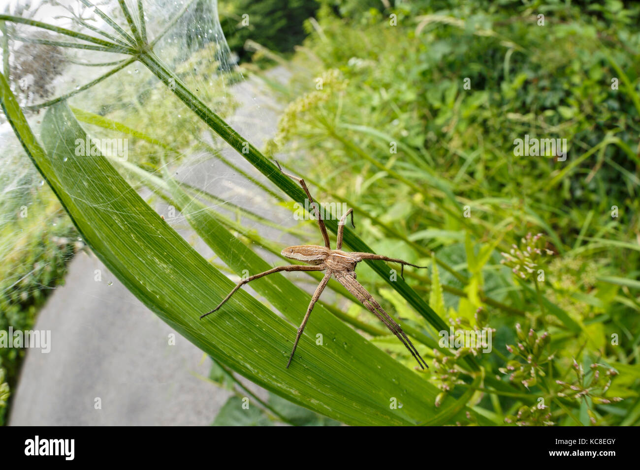 Nursery Web Spider, Pisaura mirabilis, guarding nest of spiderlings. Tintern, Monmouthshire, Wales, June. - Stock Image
