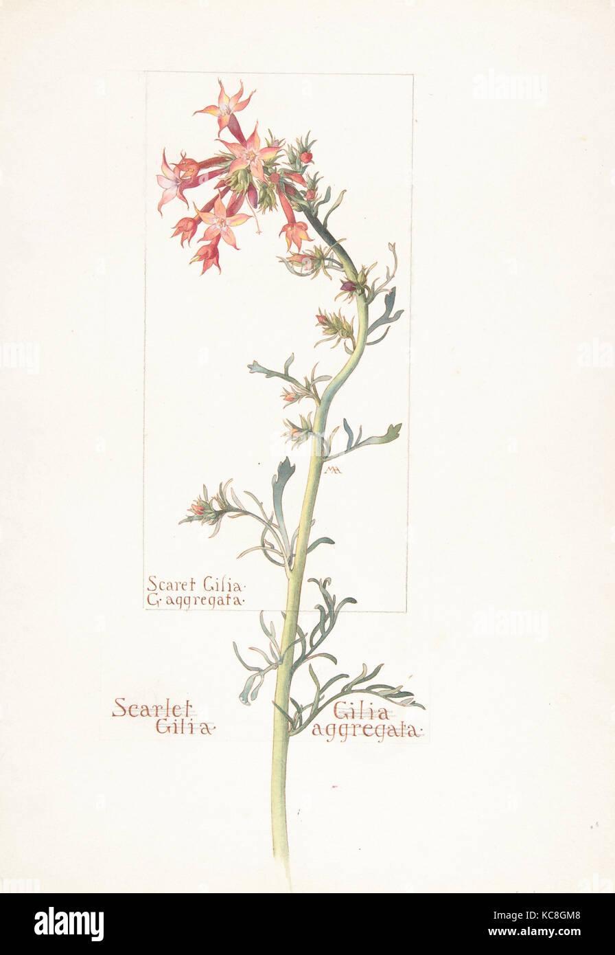 Scarlet Gilia, Gilila aggregata, Margaret Neilson Armstrong, May 18, 1913 - Stock Image