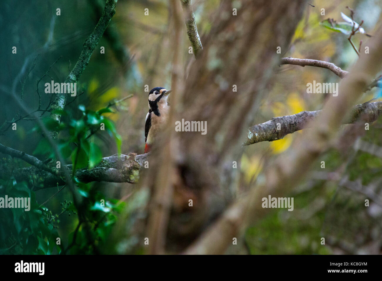 fleeting Glimpse of woodpecker through the trees Hide, Bird, Adgeston, Isle of Wight Greater Spotted Woodpecker - Stock Image