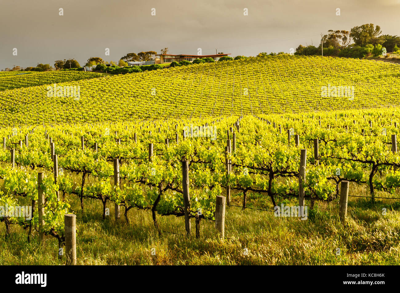 Vineyards in the famous South Australian wine region McLaren Vale. - Stock Image