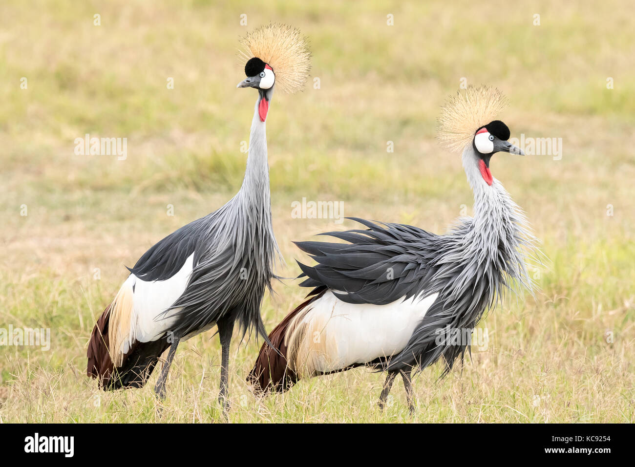 A pair of Grey Crowned Crane was foraging at Amboseli National Park, Kenya. Grey Crowned Crane is the national bird - Stock Image