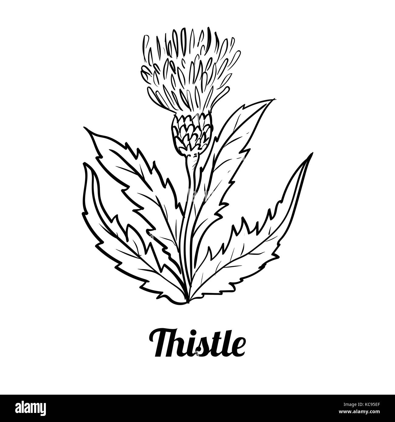 Hand drawing of Thistle isolated on white background. Black and White simple line Vector Illustration for Coloring - Stock Image