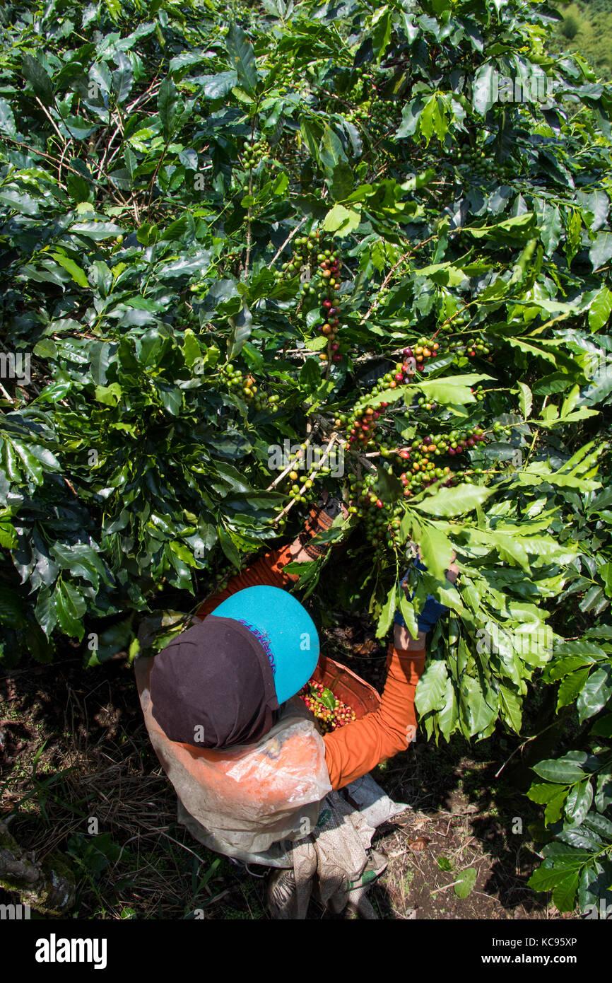 Coffee picker or cafetero at Hacienda Venecia Coffee Farm, Manizales, Colombia Stock Photo