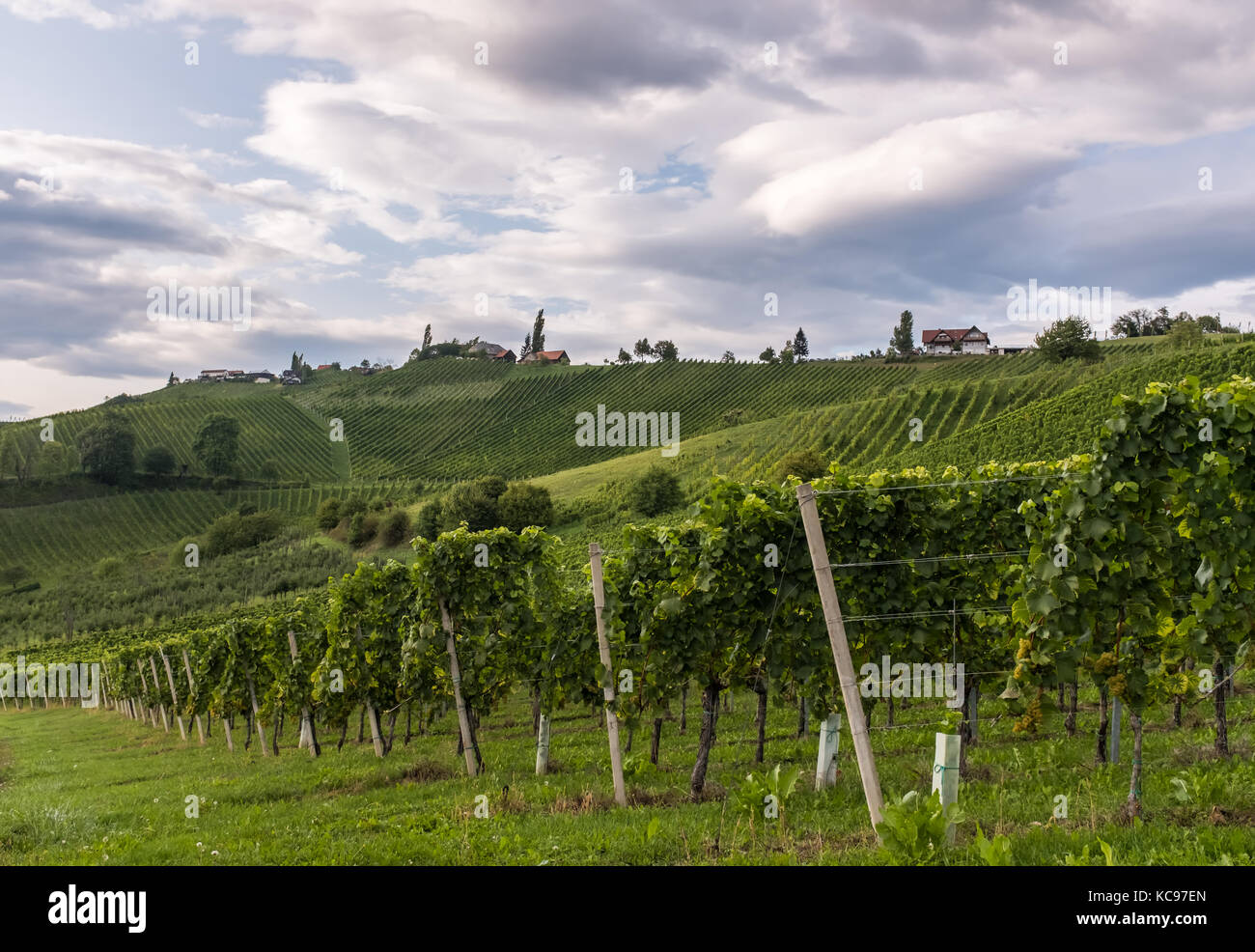 Vineyard along the south Styrian vine route in Austria, Europe - Stock Image