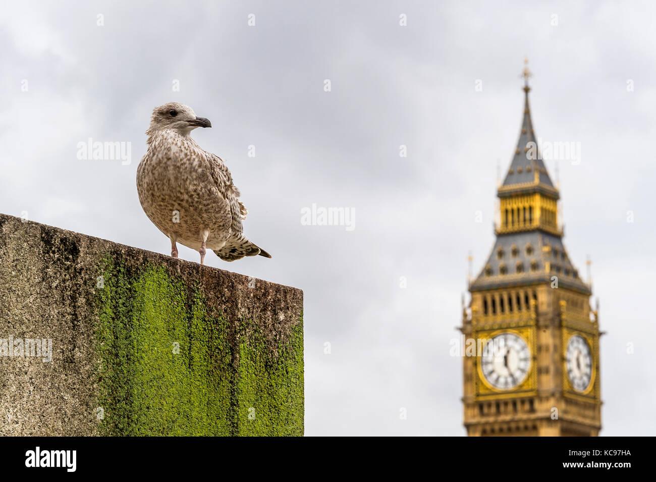 London bird looking on Big Ben Stock Photo