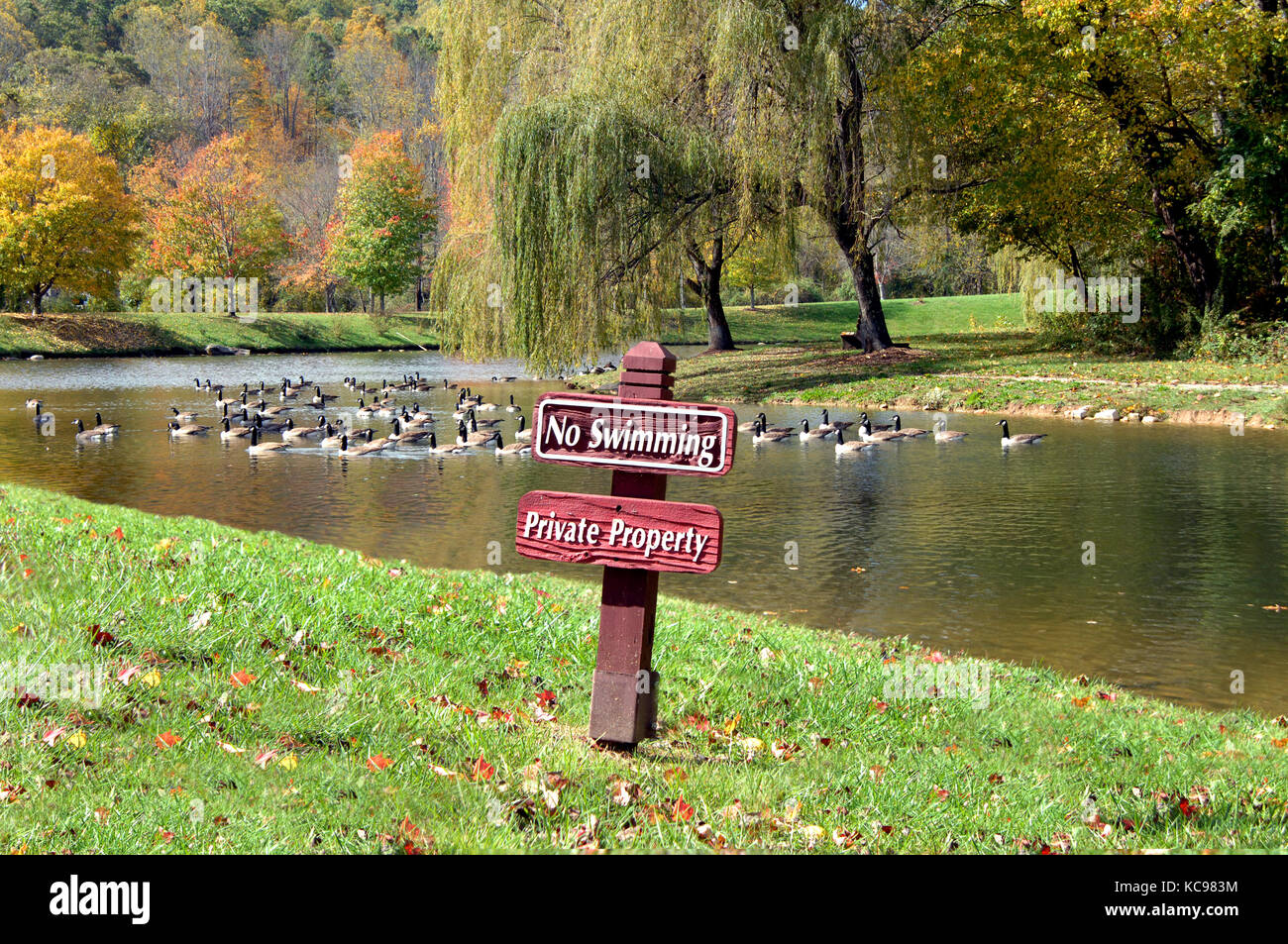 Canadian geese ignore sign that posts 'no swimming.'  Large flock enjoy the sunshine and colors of Autumn - Stock Image