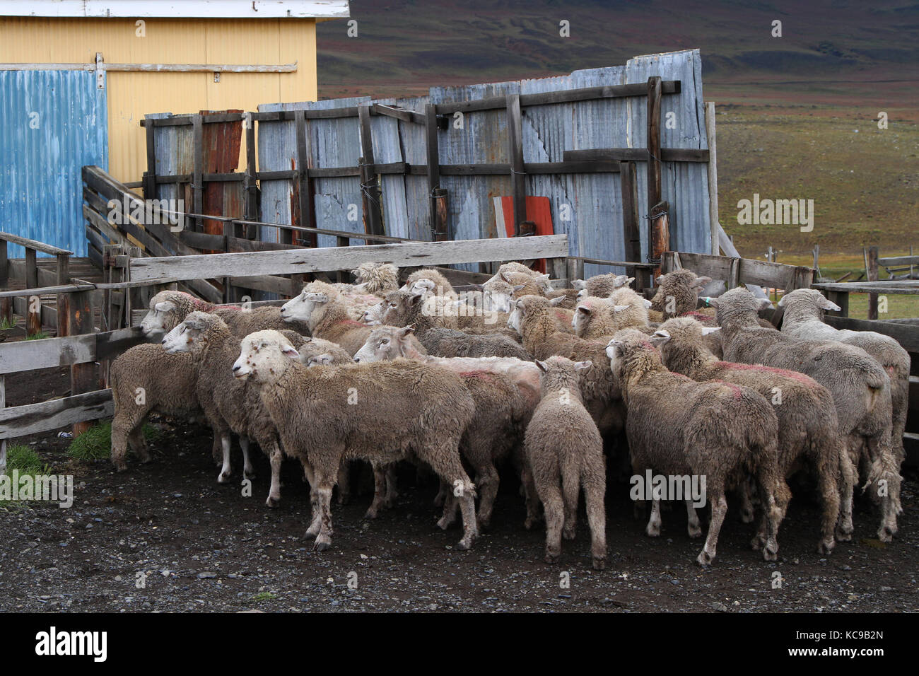 Sheep of a Chilean Estancia - Stock Image