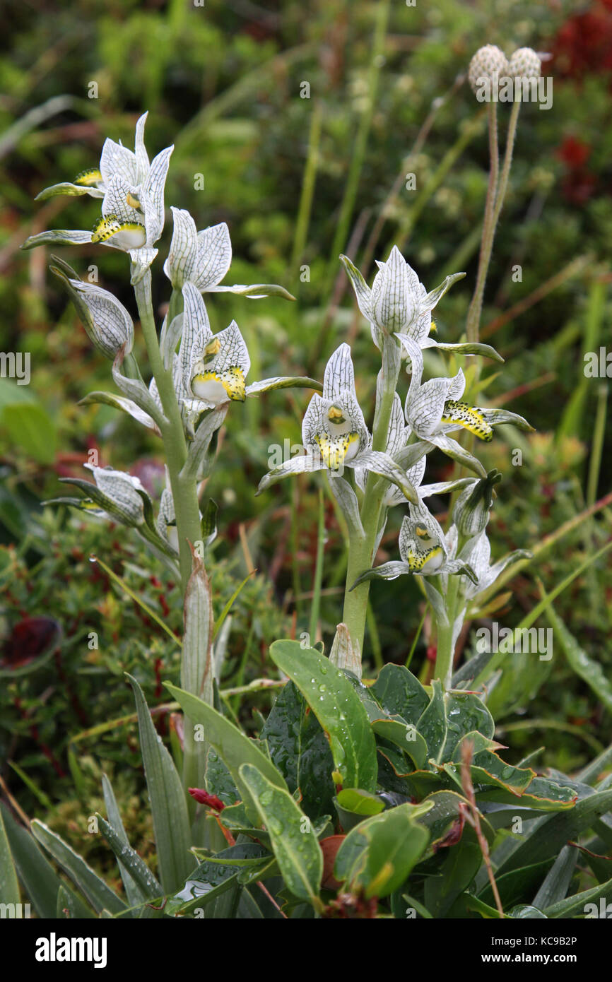Porcelain Orchid in South Chile Mountains - Stock Image