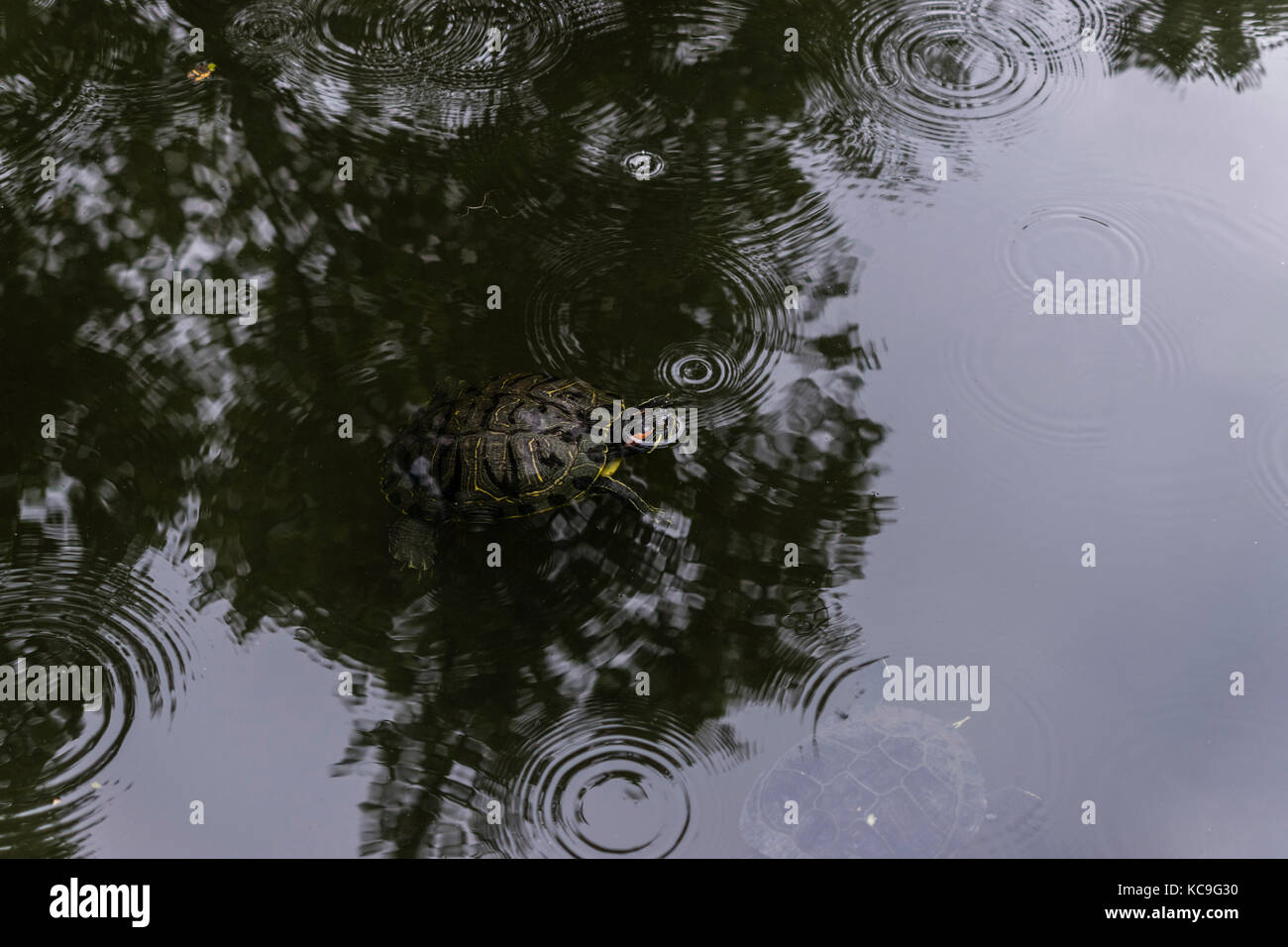 High Angle View Of Turtle Swimming In Pond During Summer Rain - Stock Image
