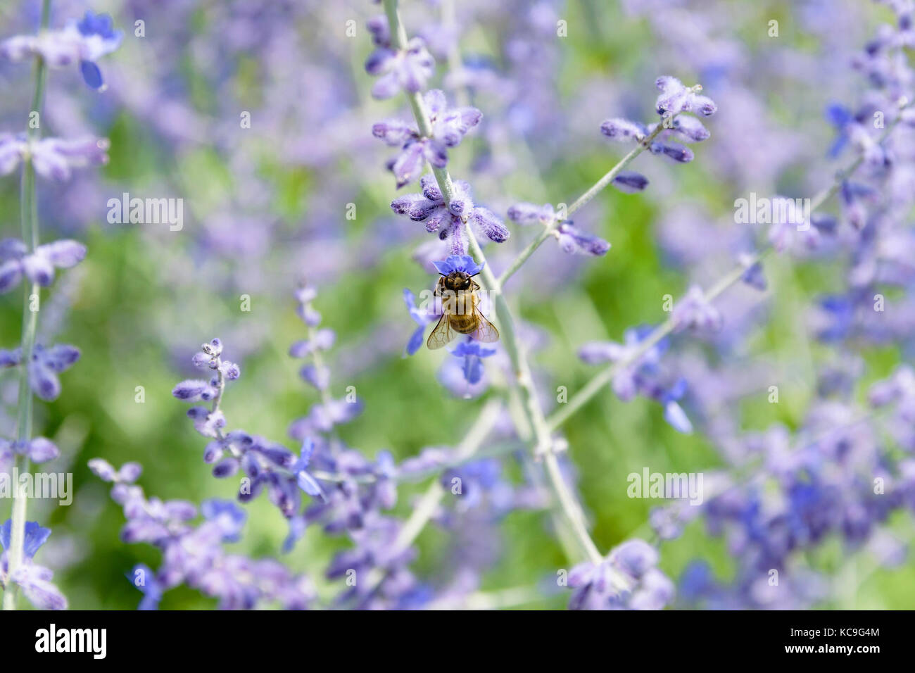 Close-Up Of Bee Collecting Pollen From Russian Sage Flowers Or Perovskia Atriplicifolia Stock Photo