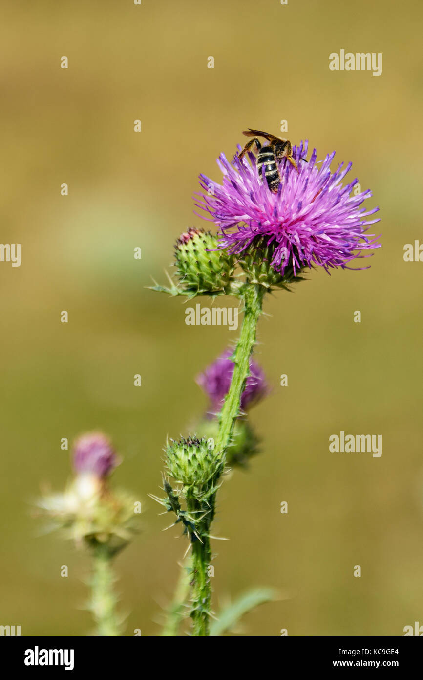 Close-Up Of European Honey Bee Or Apis Mellifera Gathering Pollen From Purple Thistle During Summer - Stock Image