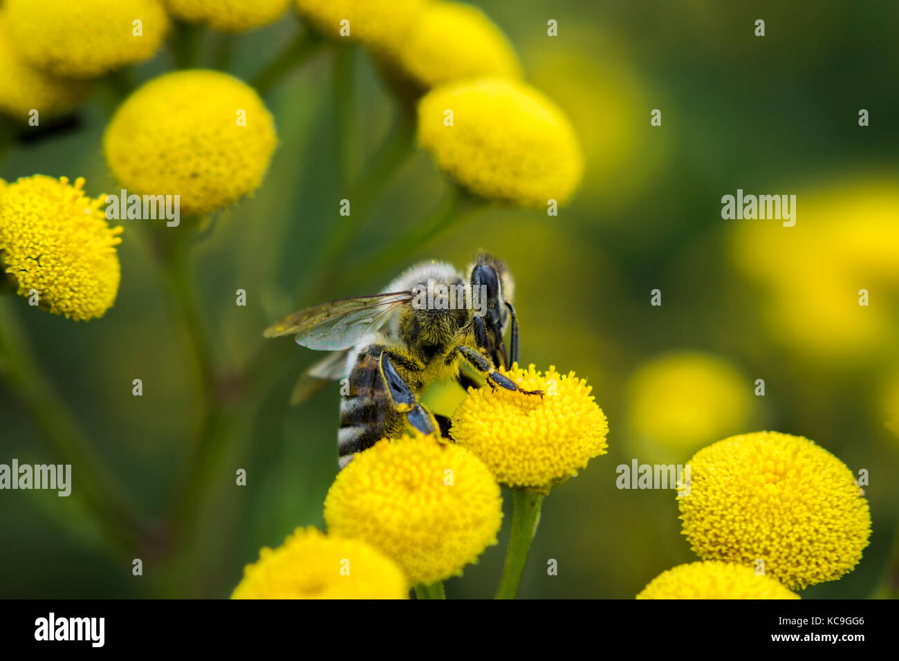 Side Angle View Of European Honey Bee Or Apis Mellifera Gathering Pollen From Yellow Flower - Stock Image