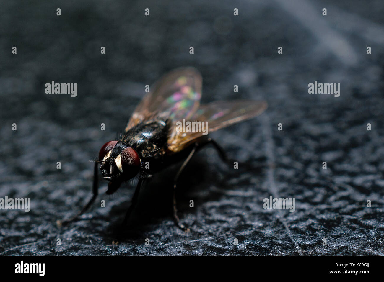 Extreme Close-Up Of Ordinary House Fly On Black Surface - Stock Image