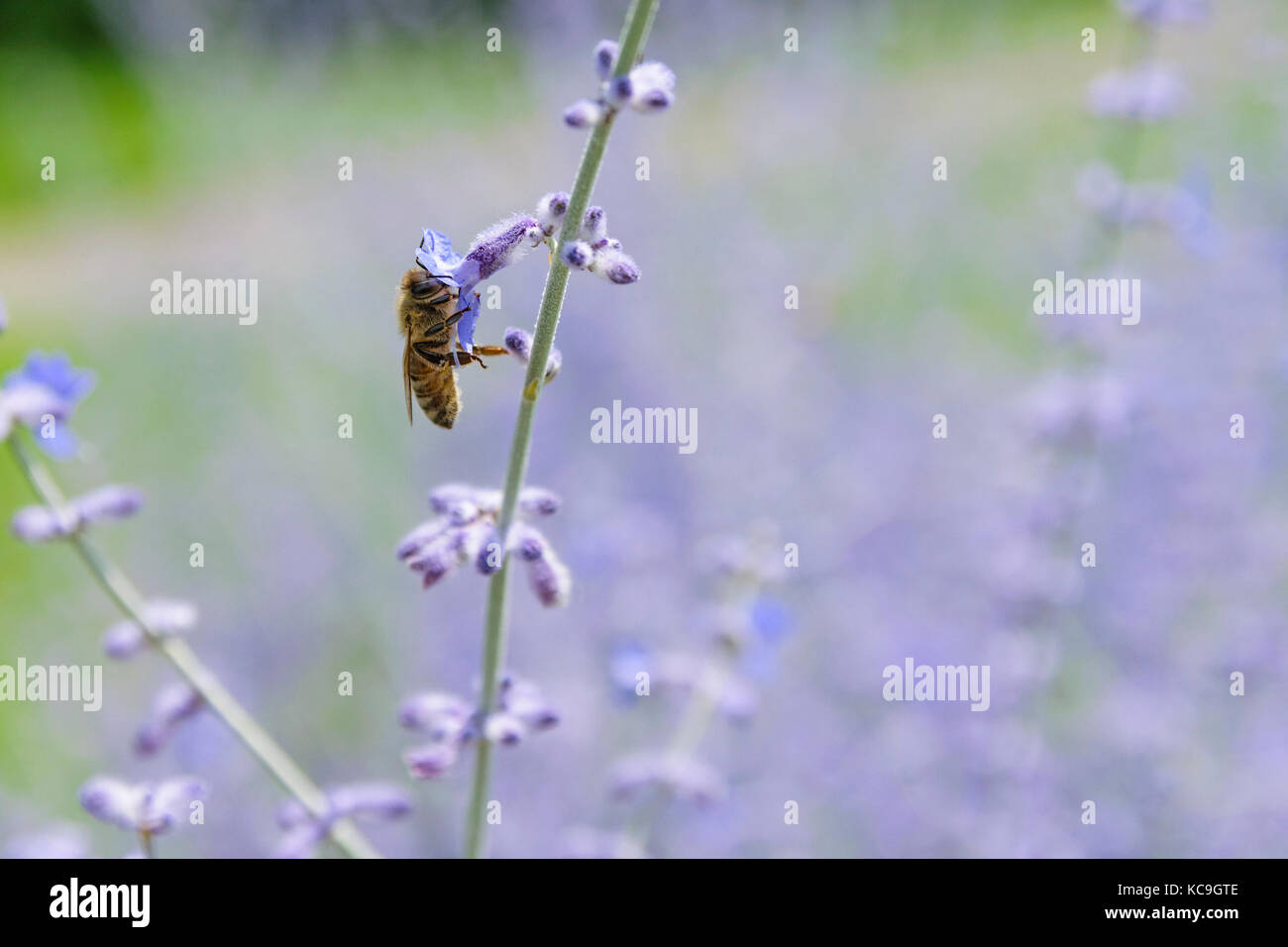 Side Angle Close-Up Of Bee Collecting Pollen From Russian Sage Flowers Or Perovskia Atriplicifolia - Stock Image