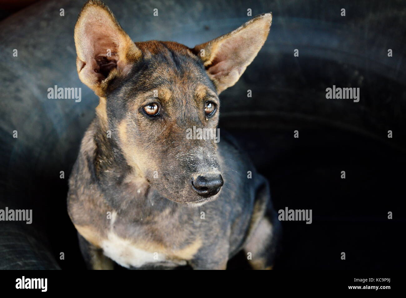 street dog in Thailand - Stock Image