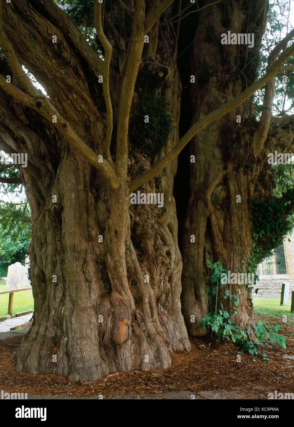 Ancient churchyard yew tree, Compton Dundon, Somerset, England. Estimated as 1700 years old, with a girth of 23ft. - Stock Image