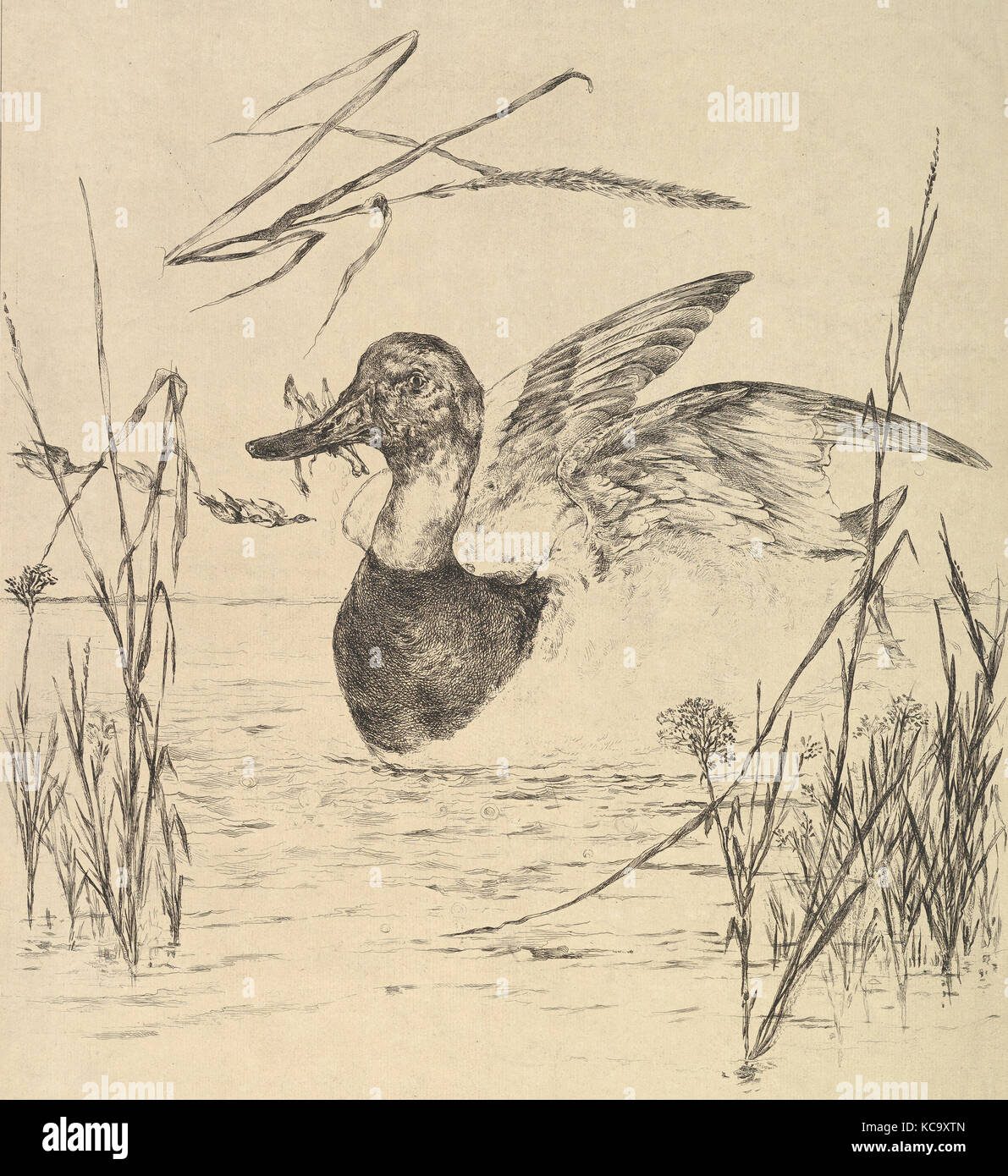 Duck, 1850–1914, Etching; proof state, sheet: 19 1/2 x 16 in. (49.5 x 40.6 cm), Prints, Félix Bracquemond (French, - Stock Image