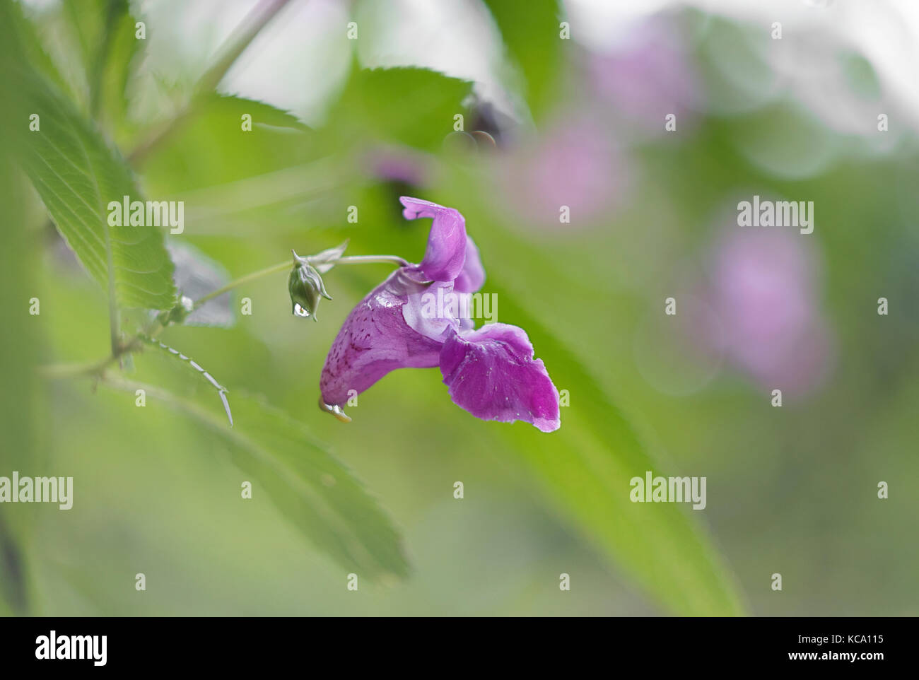 Impatiens glandulifera, single flower with green backround Stock Photo