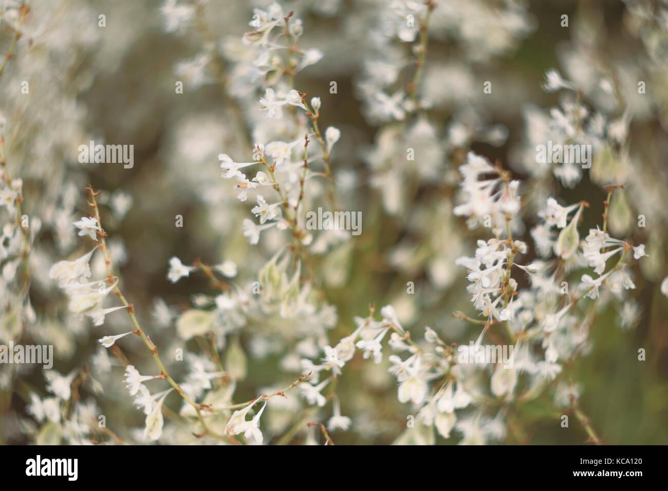 Fallopia, white dreamy flowers - Stock Image