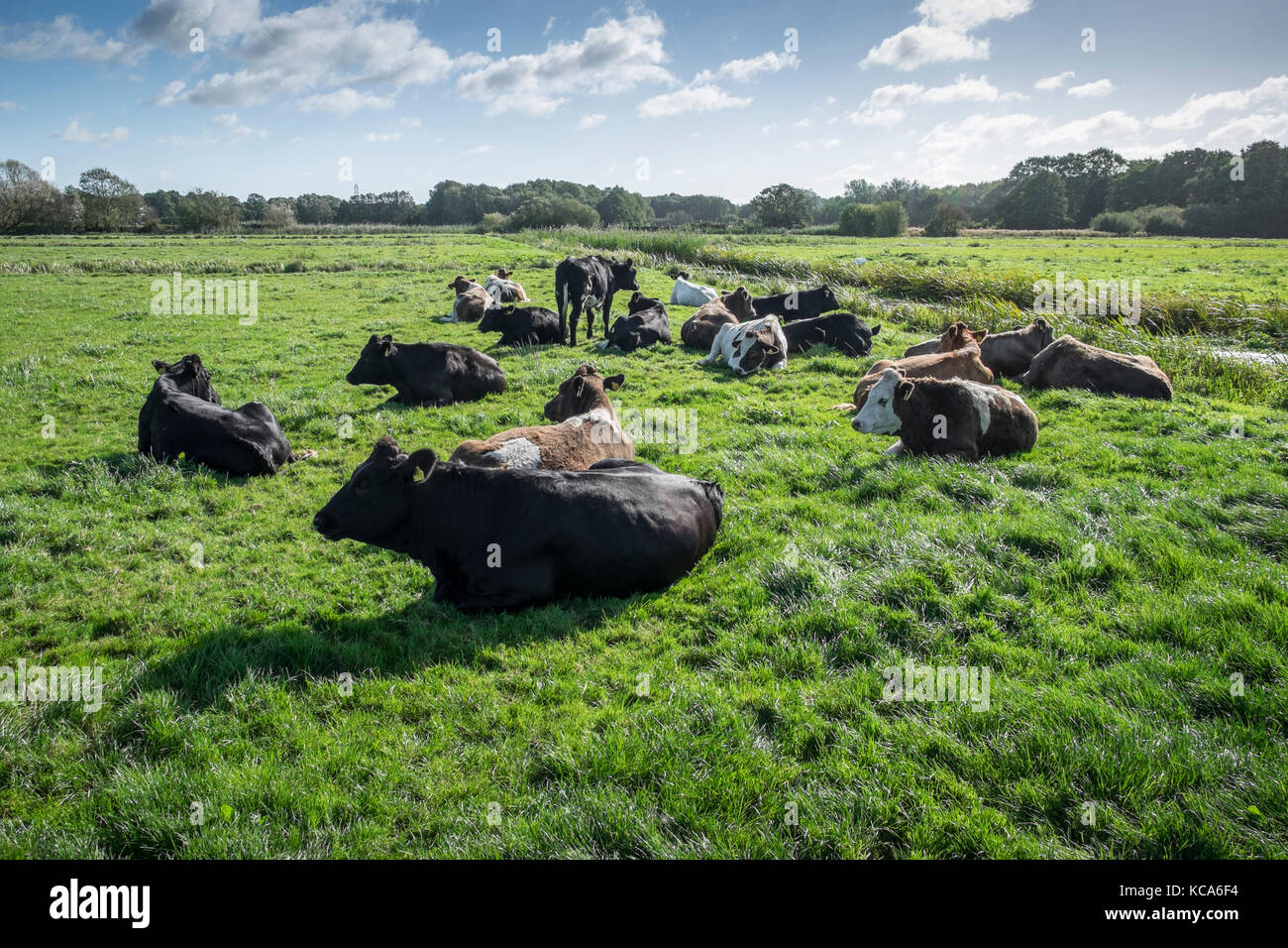 Cattle lying down. Waveney Valley, Suffolk, England. Stock Photo