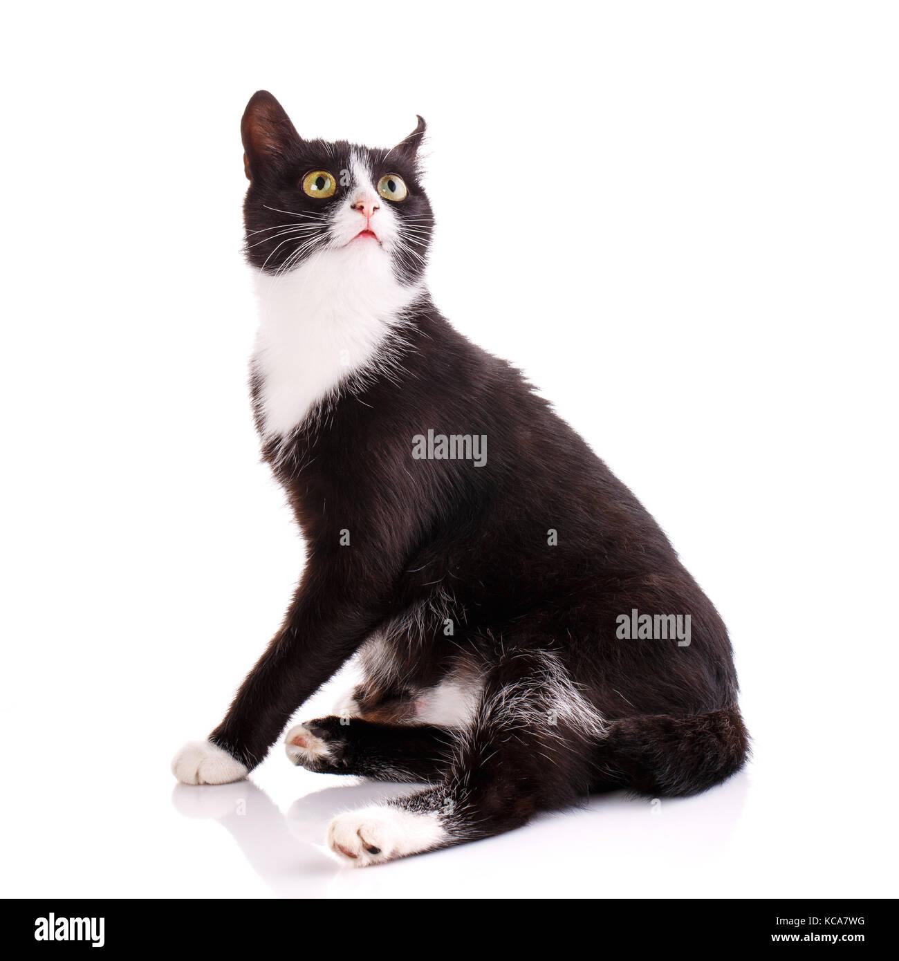 Funny Black White Domestic Shorthair Stock Photos & Funny Black ...