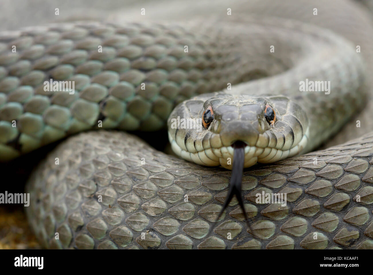 Grass snake (Natrix natrix) adult moving his tongue - Stock Image