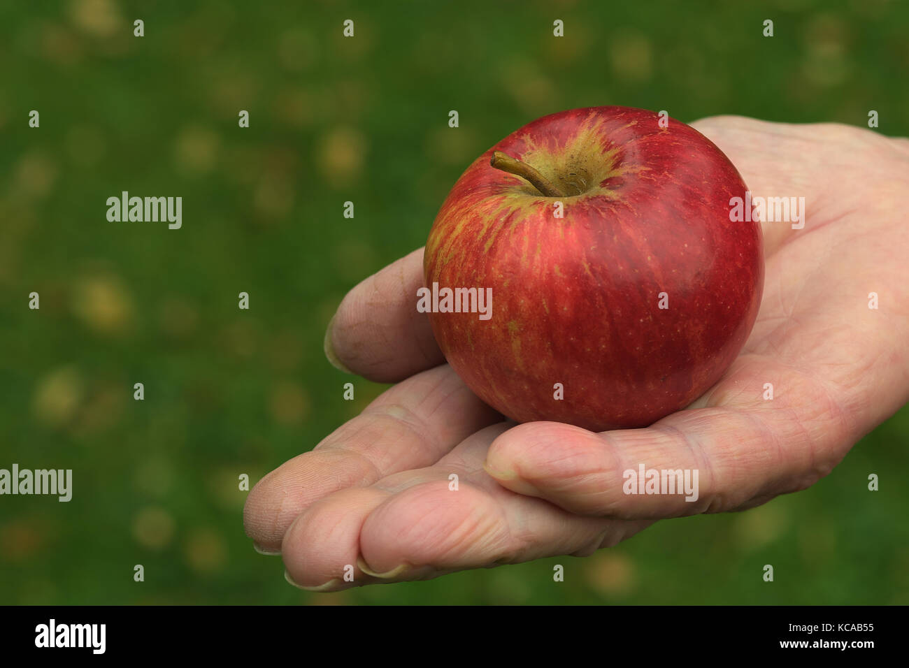 An organic Red Pippin apple in the palm of an open hand - Stock Image