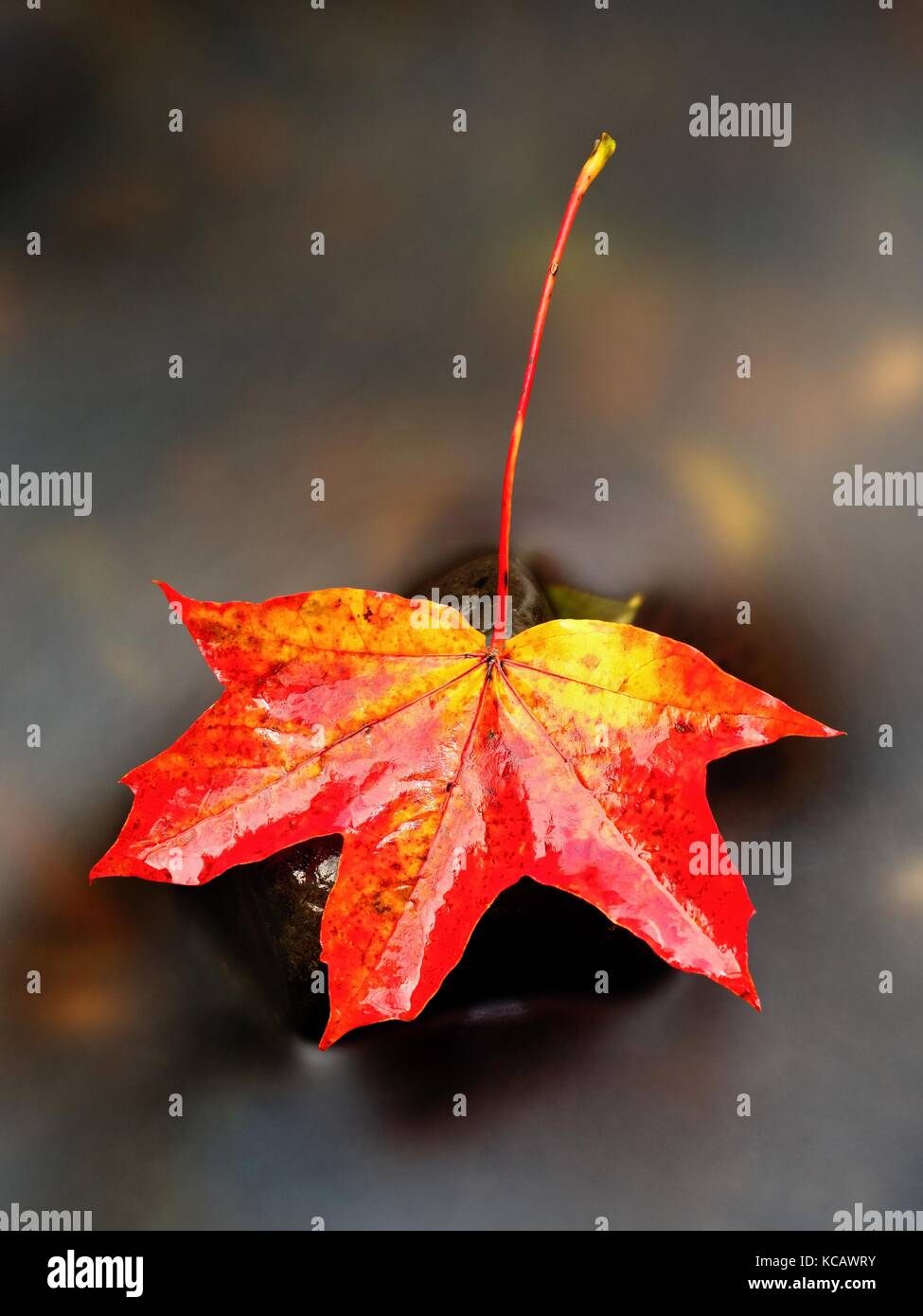 Autumn nature. Detail of rotten orange red  maple leaf. Fall leaf lay on dark stone in blurred mirror water of mountain Stock Photo