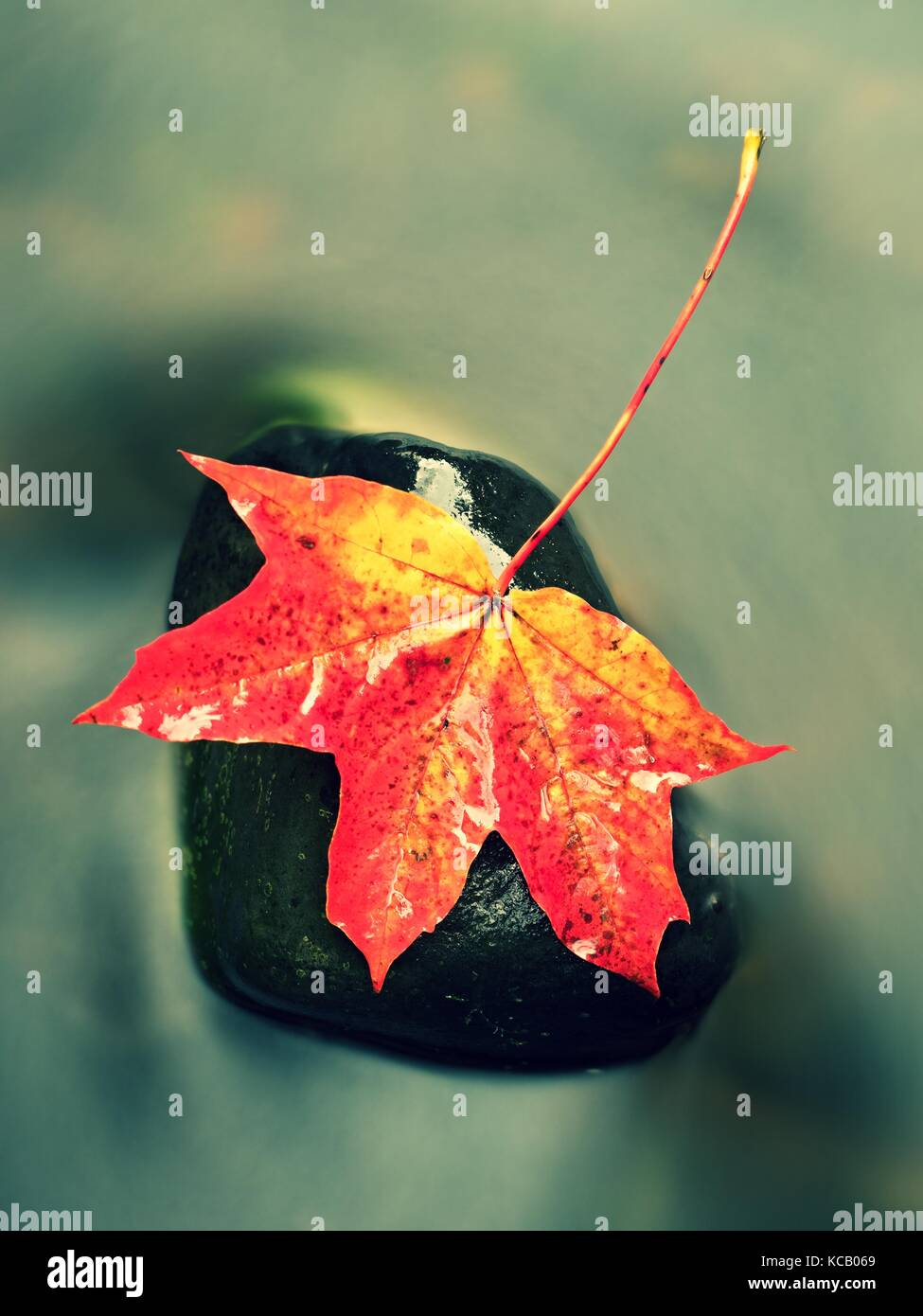 Autumn nature. Detail of rotten orange red  maple leaf. Fall leaf lay on dark stone in blurred mirror water of mountain - Stock Image