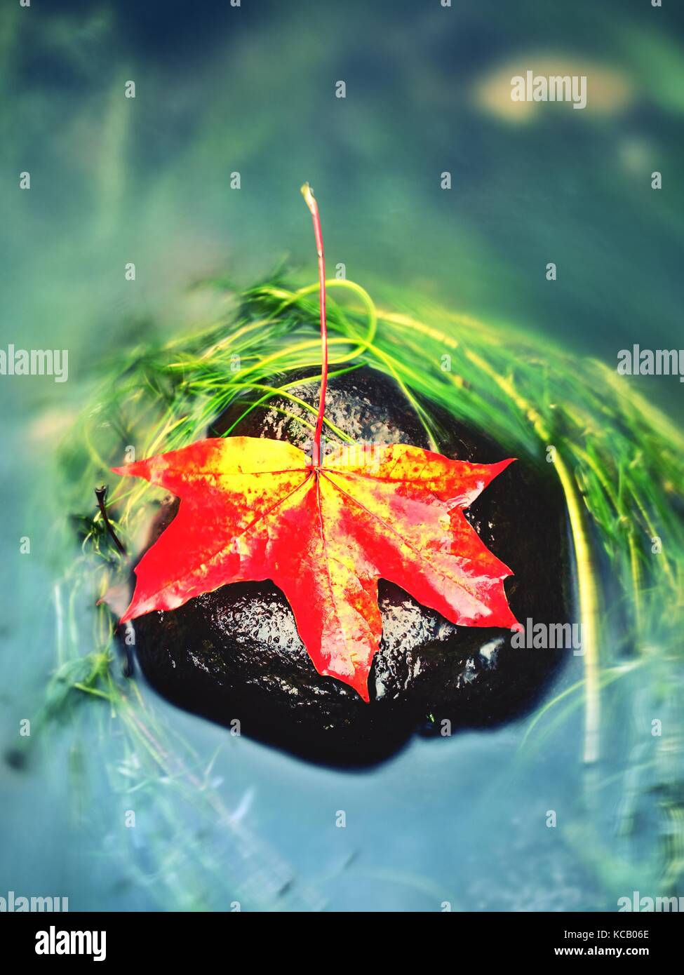 Caught yellow orange maple leaf on  long green algae stone. Colorful symbol of comming fall season. Boulder in mirror - Stock Image