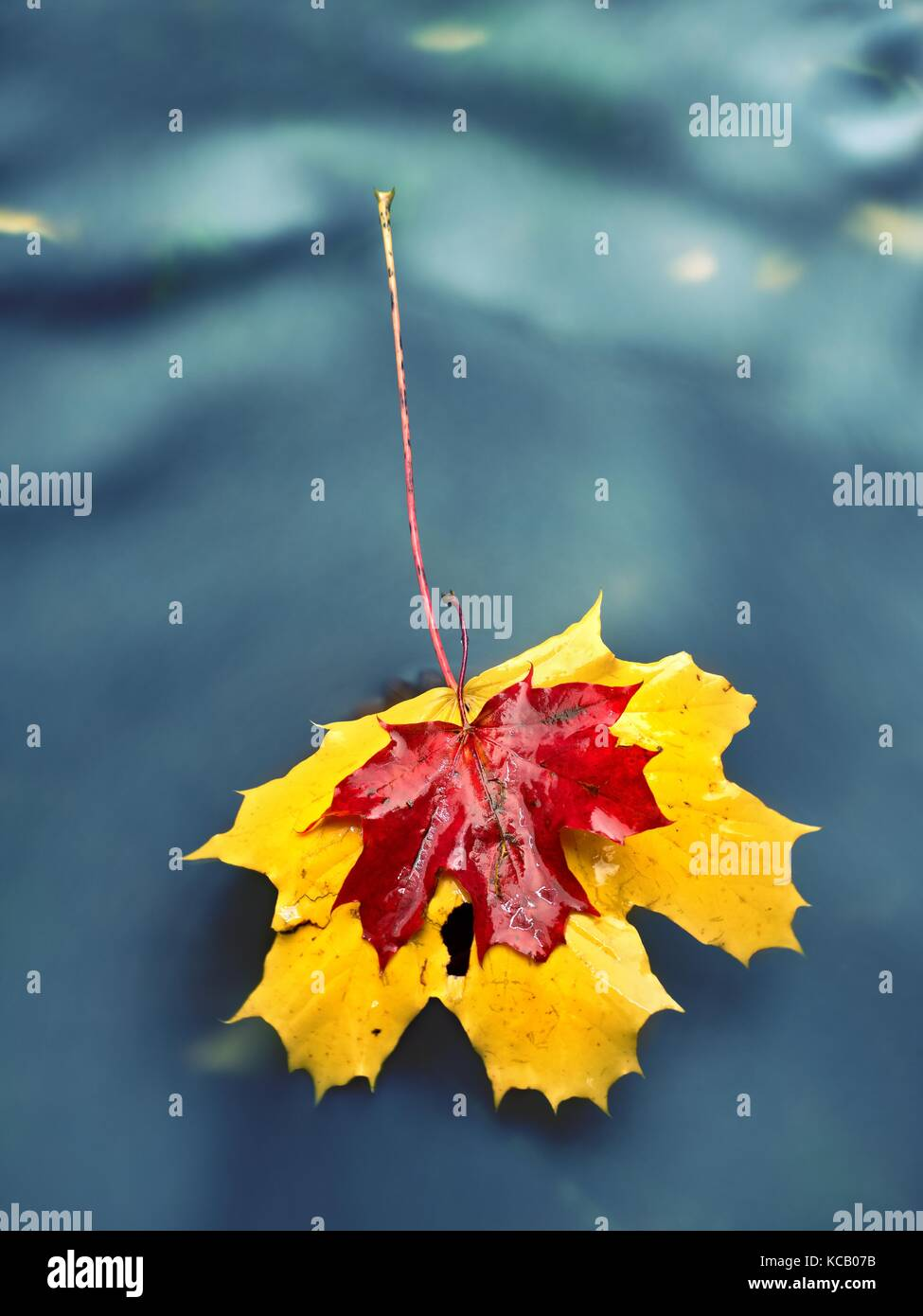 Yellow orange red  autumn maple leaves on water, dried leaf fallen into cold water - Stock Image