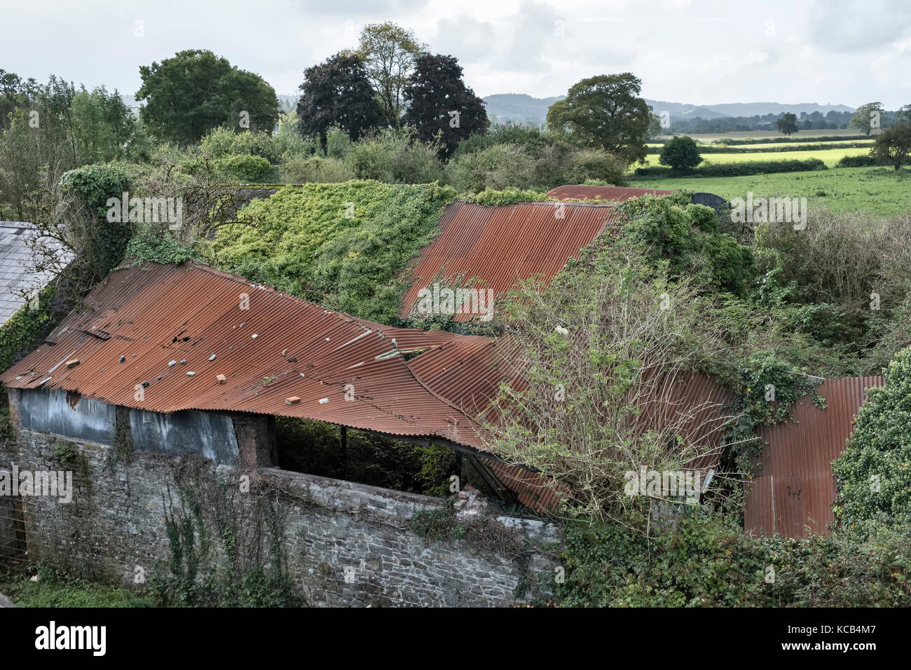 Llandeilo, Carmarthenshire, Wales, UK. Old barns with collapsing corrugated iron roofs overgrown with ivy - Stock Image