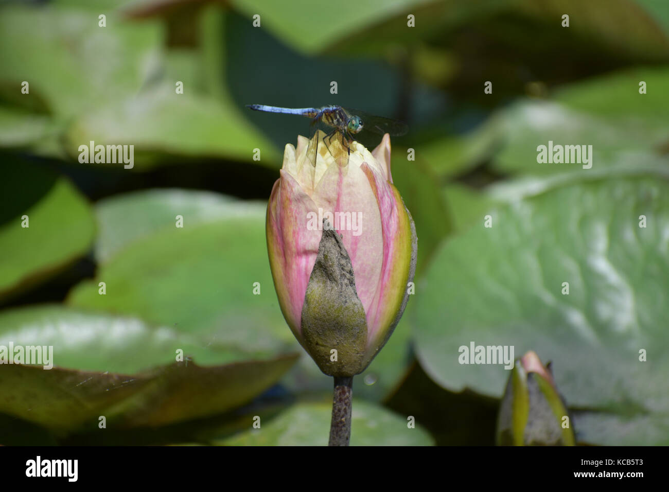 Lotus Flower Dragonfly Blooming Stock Photos Lotus Flower