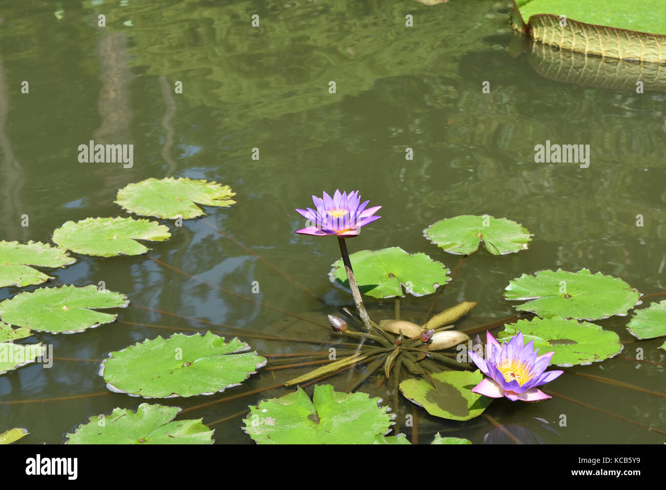 Sacred narcotic lily of the nile stock photos sacred narcotic lily stunning purple or blue lotus flower in full bloom with garden pond background stock izmirmasajfo