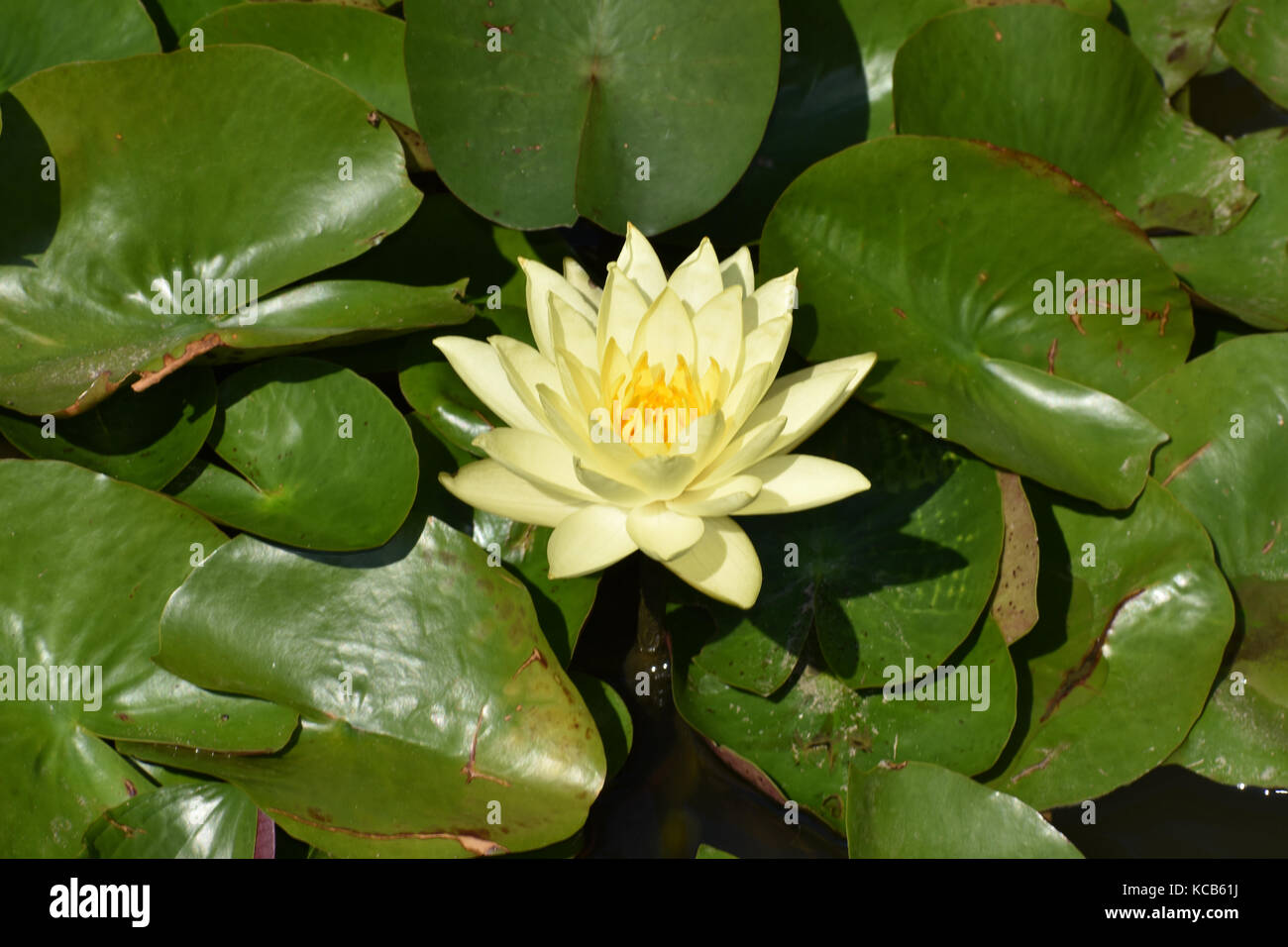 Close Up O Fa Yellow Lotus Flower On A Garden Pond Stock Photo