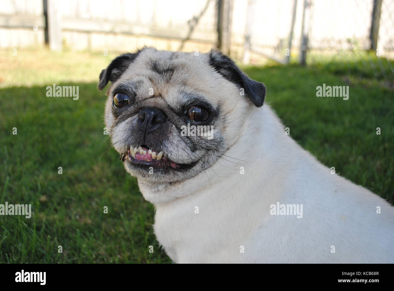 A pug showing bottom crooked teeth - Stock Image