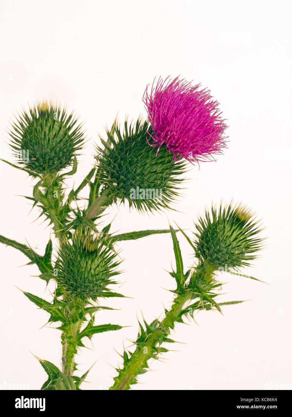 Spear thistle Cirsium vulgare or bull thistle, or common thistle on cut-out background Stock Photo